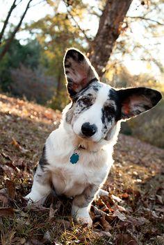 Byron - Cardigan Welsh Corgi - Puppy 5 Months by MagnoliaFly, via Flickr