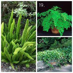 HGTVGardens Indoor Shade House Plants Ferns Ivy- 10. Asparagus fern 11. Maidenhair fern 12. English Ivy