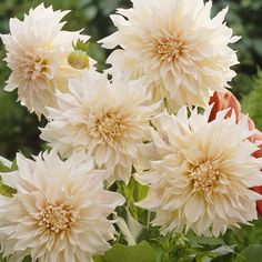 Cream flowers with a peach centre. This popular dinner plate variety boasts flowers with a diameter of up to 25cm/10in. Top grade dahlia tubers supplied. Ht. 1.2m.