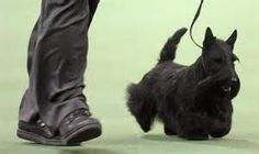 Westminster Dogs Winners 2014 - Bing Images