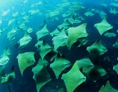 once a year stingrays migrate.. millions of them... i would like to see this.
