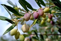 Eumelia's extra virgin organic olive oil is produced with the highest possible standards Greek Olives, Olive Tree, Organic Farming, Olive Oil, Greece, Herbs, Tuscany, Flowers, Destinations