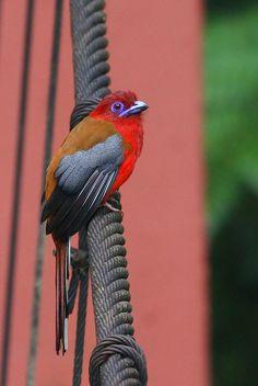 Red-headed Trogon, male by kampang