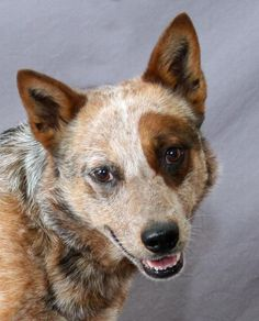 Intriguing Australian Cattle Dog mix from Modesto. Adopted.