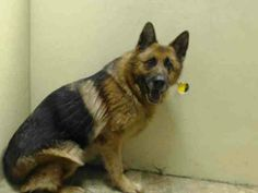 ~~gorgeous 4 yr old gal TO BE DESTROYED 06/20/14~~ Brooklyn Center  My name is LAIKA. My Animal ID # is A1002450. I am a female brown and black germ shepherd mix. The shelter thinks I am about 4 YEARS old.  I came in the shelter as a OWNER SUR on 06/07/2014 from NY 11419, owner surrender reason stated was ATT ANIMAL.