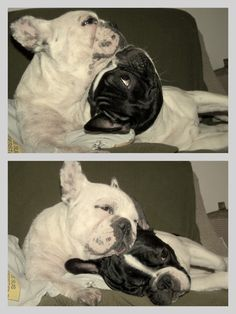 Spooning French Bulldogs, now that's Love ; )