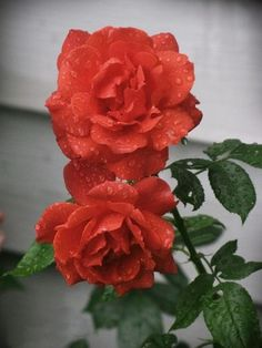 'Hot Cocoa' possesses a delicious blend of smoky chocolate and orange hues. It grows up to 5 feet tall and wide, with large 3 1/2-inch ruffled flowers that repeat their bloom throughout the season. Gardeners in zones 5 to 9 can grow this beauty.