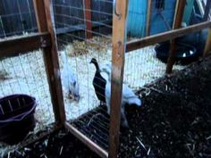 Nice clean duck housing. They need 4-6 sq feet each in the nesting/inside area and 10-25 sq ft per bird for the run area.