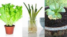Zöldségtermesztés, olyan zöldségeket mutatok be nektek, amik gyorsan nőnek, és bárhol megteremnek, ismerd meg ezeket a zöldségeket te is. Zöldségtermesztési tippek mindenkinek!