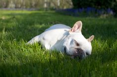 After some rambunctious play, Sharkey decided to take a snooze on the lawn.