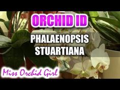 This is Phalaenopsis Stuartiana, it is a species and has the great feature of having mottled leaves and pretty flowers. Mine is not fragrant but some are sup...