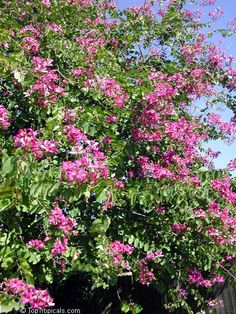 PlantFiles Pictures: Bauhinia Hybrid, Hong Kong Orchid Tree (Bauhinia x blakeana) by htop Orchid Tree, Outside Plants, Backyard Trees, Florida Landscaping, West Florida, Exotic Plants, Small Trees, Flowering Trees, Shrubs