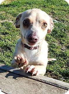 URGENT! Kill Shelter! Chihuahua Mix Dog for adoption in Terrell, Texas - Hilda