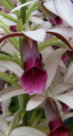 Nun's Orchid can be grown in soil. Hardy zones 8b and above in the ground.  Orchids | Photo by Charles Smith aka smith_cl9 on Flickr | Permission: CC BY-SA 2.0 https://creativecommons.org/licenses/by-sa/2.0/deed.de