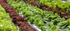 Hydroponics: The Unusual Method of Nurturing Your Desired Plants.