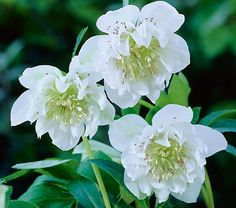 "Helleborus x hybridus Mrs. Betty Ranicar (Double White Lenten Rose)  Hardiness Zone: 5-8 S / 5-9 W  Height: 12""+  Deer Resistant: Yes  Exposure: Full or Part Shade  Blooms In: March-April  Spacing: 18-24""  Ships as: 3"" Plastic Pot - 25.8 cu. in."