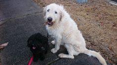 Otis Toy Poodle cross   Pawshake