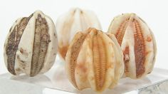 4 Blastoid Sea Lily Fossil Ancient Echinoderms by FenderMinerals,
