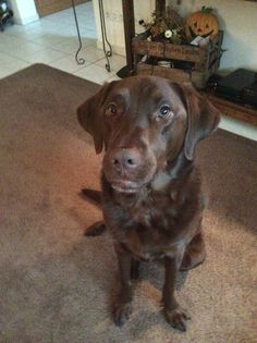 This is a chocolate lab.Her name is Sadie.She is friendly to everyone she meets.Sadie is a dog that likes to lick people.She is a sweet dog.Sadie also likes to play ball and tug of war.Sadie also loves dog food and treats.And Sadie loves her bones.