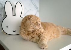 La Carmina and her Scottish Fold cat, Basil Farrow, did a cute photoshoot together. Happy holidays! More of these kitty photos at... http://www.lacarmina.com/blog/2014/12/scottish-fold-cat-basil-farrow-la-carmina/  miffy purse, scottish fold cat
