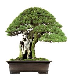 One of the most famous Japanese white pine (Pinus parviflora) bonsai in the world. After restyling by Masahiko Kimura (aka the Magician).