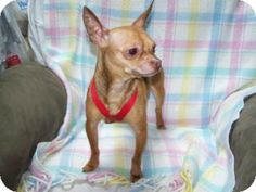 Spanaway, WA - Chihuahua Mix. Meet Patrone a Dog for Adoption.