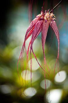 Cirrhopetalum / Bulbophyllum Orchids