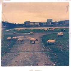 Mit Schafen ein kleines Gefühl von Landleben in #Düsseldorf