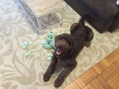 Zander the labradoodle at 5 months.