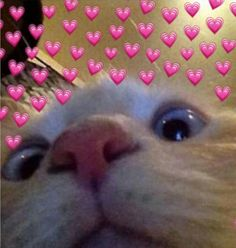 Os Heart Memes Dominarão o Mundo Cute Cat Memes, Cute Animal Memes, Cute Love Memes, Funny Cats, Sad Cat Meme, Funny Memes, Cute Kittens, Cats And Kittens, Kitty Cats