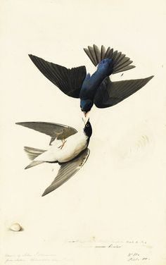 swallow watercolor | See Audubon's Famous Birds Like Never Before - Wired Science