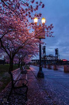 Cherry blossom along the Willamette River in downtown Portland Oregon.