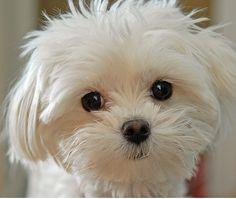 An adorable Maltese.