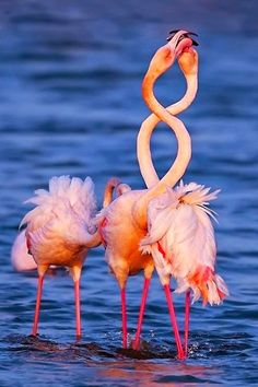 """Flamingos ~ embody the saying """"you are what you eat."""" The pinkish and reddish colors of a flamingo's feathers comes from pigments found in algae and verterbrates. Pretty Birds, Beautiful Birds, Animals Beautiful, Exotic Birds, Colorful Birds, Cute Animal Photos, Animal Pictures, Animals Photos, Animals And Pets"""