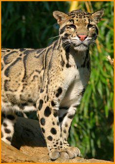 Clouded Leopard ... Ohhhhhh beautiful.