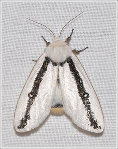 Image result for where does the stub moth come from
