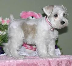 Miniature Schnauzer Puppies For Sale, males and females, parties, silvers… White Miniature Schnauzer, Miniature Schnauzer Puppies, Giant Schnauzer, Schnauzer Puppy, Little Puppies, Puppies For Sale, Cute Puppies, Cute Dogs, Dogs And Puppies