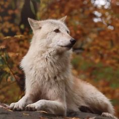 This the wolf in me inspiration via nywolf org discovered at wooden watches club womenwhorunwithwolves wolfauuu staywild tapintoyourwild autumnaesthetic whitewolf protectthewolves natureaesthetic natureart Wolf Photos, Wolf Pictures, Beautiful Wolves, Animals Beautiful, Cute Baby Animals, Funny Animals, Animal Original, Tier Wolf, Wolf Spirit Animal