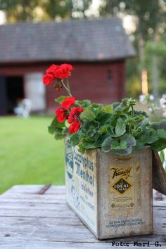 geraniums in old tin container