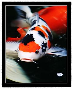 Koi fish how to buy Japanese Koi and start a healthy pond. Find everything from Koi history to much more. Koi are omnivorous, meaning they will. Common Carp, Goldfish Pond, Japanese Goldfish, Japanese Koi, Pretty Fish, Beautiful Fish, Koi Art, Fish Art, Paintings
