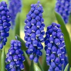 Muscari Armeniacum (Grape Hyacinths)