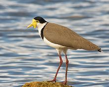 large, common and conspicuous bird native to Australia, particularly the northern and eastern parts of the continent.