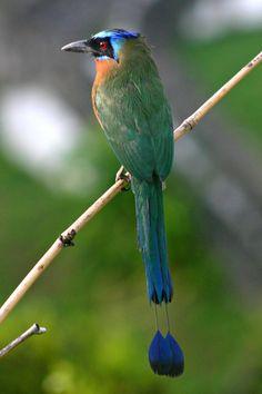 El pájaro Bobo « Editorial INBio – Costa Rica