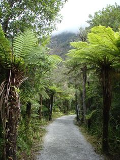 Tree-fern lined path at Franz Joseph Glacier (what's left of it), South Island, New Zealand.