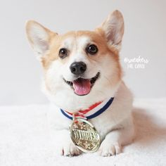 Going for the gold #Corglympics ... - Sneakers the Corgi