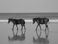 Wild Horses of The Outer Banks (someday I'll see them)