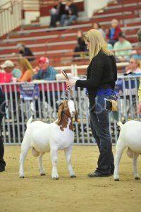 Pearl S Pics Photography Abga National Boer Goat Show 2017 Open Ring Shots