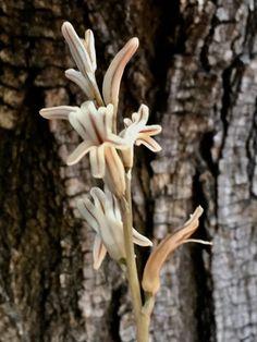 Suculent Haworthia
