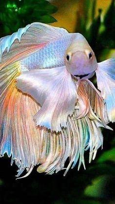 Cute Baby Animals, Animals And Pets, Funny Animals, Beautiful Sea Creatures, Animals Beautiful, Colorful Fish, Tropical Fish, Betta Fish Types, Beta Fish