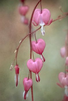 ~~Bleeding hearts by Mandy Disher~~  I have the fringed bleeding hearts but not the old fashioned ones.  I need to get an old fashioned one.